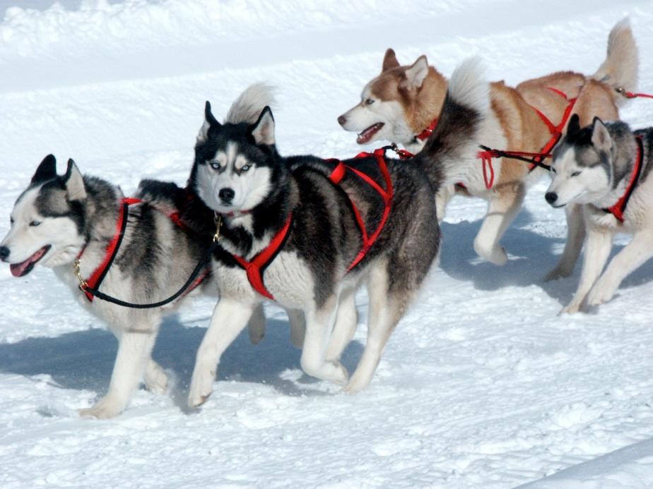 Sled Dog Race Team